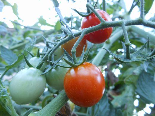 ミニトマト.jpg