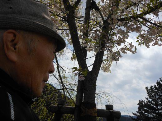 寒桜.jpg