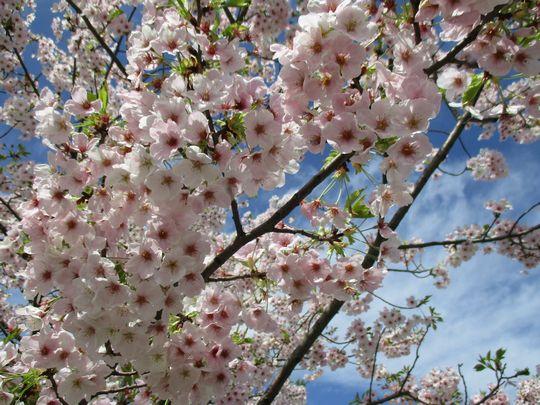 空桜.jpg
